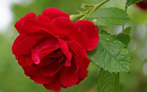 Desktop hintergrundbilder Rose Hautnah Rot Blüte