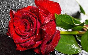 Hintergrundbilder Rosen Nahaufnahme Rot Tropfen Blumen