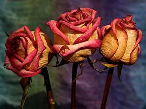 Fotos Rose Hautnah Drei 3 Trocknen Blüte