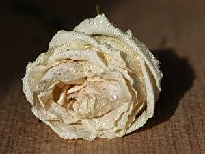 Hintergrundbilder Rosen Hautnah Weiß Tropfen Blumen