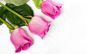 Desktop hintergrundbilder Rose Hautnah Weißer hintergrund Drei 3 Rosa Farbe Tropfen Blüte