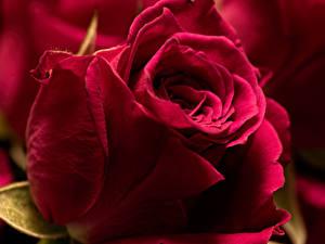 Desktop hintergrundbilder Rose Hautnah Dunkelrote Blüte