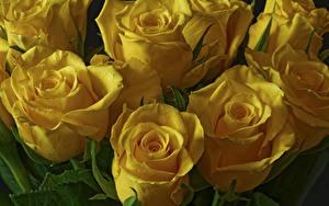 Bilder Rosen Großansicht Gelb