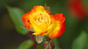 Wallpapers Rose Closeup Yellow Blurred background flower
