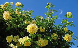 Hintergrundbilder Rosen Großansicht Gelb Ast Blumen
