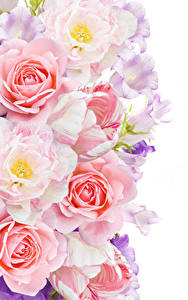 Hintergrundbilder Rosen Tulpen Glockenblumen Weißer hintergrund