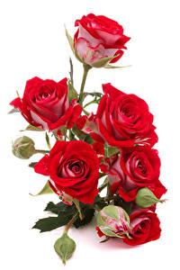 Papel de Parede Desktop Rosas Fundo branco Vermelho Broto Flores
