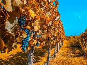 Fotos Jahreszeiten Herbst Weintraube Strauch Blattwerk Natur