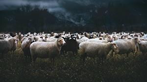 Bilder Hausschaf Viel Grünland Abend Herde ein Tier