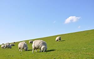 Hintergrundbilder Hausschaf Viel Grünland Gras Herde Tiere