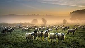 Bilder Hausschaf Viel Grünland Herde Nebel ein Tier