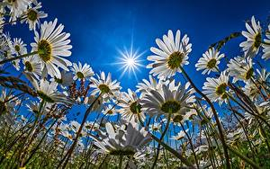 Fotos Himmel Grünland Kamillen Sonne Lichtstrahl Untersicht Ansicht von unten Blüte