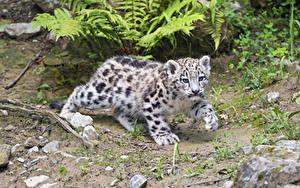 Bilder Schneeleopard Jungtiere ©Tambako The Jaguar