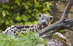 Fotos Irbis Jungtiere ©Tambako The Jaguar