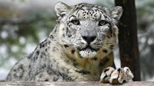 Bilder Schneeleopard Schnauze Blick Tiere