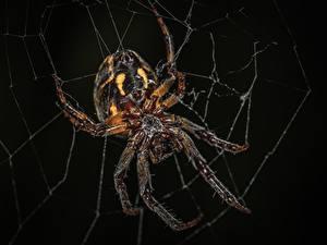 Bilder Webspinnen Großansicht Insekten Schwarzer Hintergrund Spinnennetz Araneus ein Tier