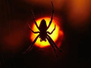 Hintergrundbilder Webspinnen Nacht Tiere