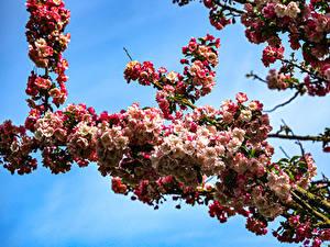 Bilder Frühling Blühende Bäume Nahaufnahme Ast Natur