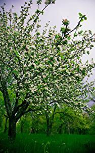 Bilder Frühling Blühende Bäume Gras Natur