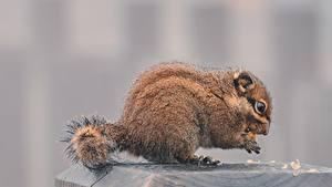 Desktop hintergrundbilder Hörnchen Bokeh Seitlich Essen ein Tier