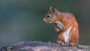 Bilder Hörnchen Hautnah ein Tier