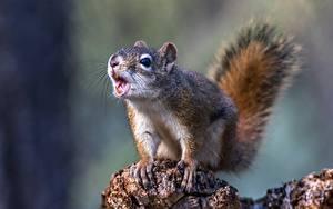 Hintergrundbilder Hörnchen Hautnah Schreiendes ein Tier