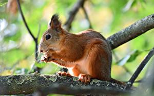 Hintergrundbilder Hörnchen Nussfrüchte Unscharfer Hintergrund Ast ein Tier