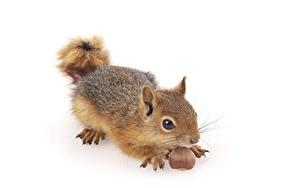 Fotos Eichhörnchen Nussfrüchte Weißer hintergrund ein Tier