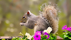 Bilder Eichhörnchen Petunien Bokeh Schwanz Tiere