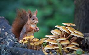 Desktop hintergrundbilder Eichhörnchen Nagetiere Pilze Natur Bokeh Tiere
