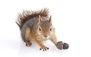 Bilder Eichhörnchen Weißer hintergrund Blick Pfote Eicheln Tiere
