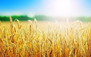 Fotos Sommer Acker Weizen Ähren Unscharfer Hintergrund