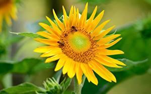 Fotos Sonnenblumen Bienen Insekten Bokeh Gelb Blumen