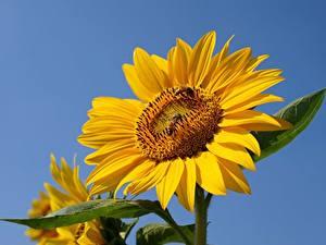 Hintergrundbilder Sonnenblumen Bienen Insekten Gelb Blüte