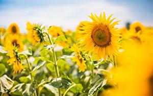 Bilder Sonnenblumen Unscharfer Hintergrund Blumen