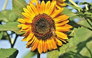 Bureaubladachtergronden Helianthus Van dichtbij Bijen Insecten Geel kleur bloem