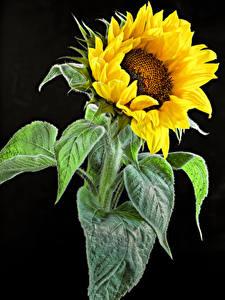 Fotos Sonnenblumen Hautnah Schwarzer Hintergrund Blumen