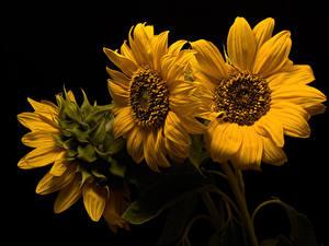 Fotos Sonnenblumen Großansicht Schwarzer Hintergrund Drei 3 Gelb Blüte