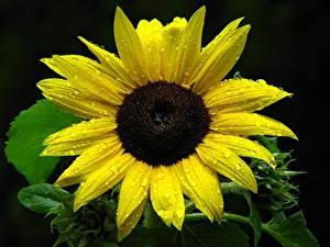 Fotos Sonnenblumen Großansicht Schwarzer Hintergrund Gelb Tropfen Blumen