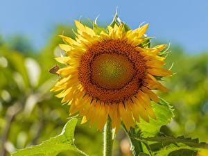 Bilder Sonnenblumen Großansicht Unscharfer Hintergrund Blüte