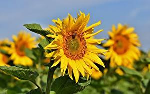 Tapety na pulpit Słonecznik Z bliska Bokeh Kwiaty