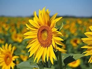 Hintergrundbilder Sonnenblumen Großansicht Bokeh Gelb Blumen
