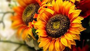 Bureaubladachtergronden Zonnebloemen Close-up Oranje bloem