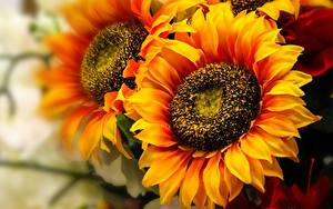 Bilder Sonnenblumen Großansicht Orange Blüte