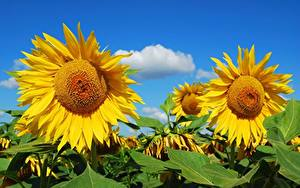 Fotos Sonnenblumen Felder Gelb Blumen