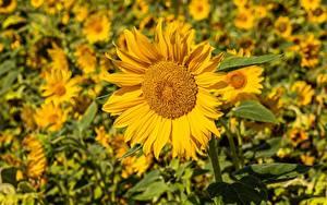 Bilder Sonnenblumen Viel Gelb Bokeh Blüte