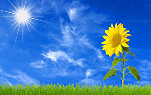 Fotos Sonnenblumen Himmel Gras Sonne Blumen
