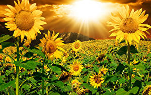 Picture Helianthus Sunrises and sunsets Fields Rays of light Flowers