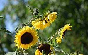 Hintergrundbilder Sonnenblumen Gelb Unscharfer Hintergrund Blumen