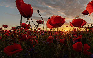 Picture Sunrises and sunsets Fields Papaver Closeup Many Rays of light Sun Nature Flowers